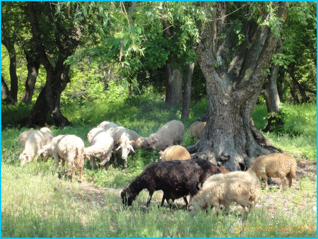 """и """"шерстяных"""" овечек, и самыми красивыми в мире донскими степями."""
