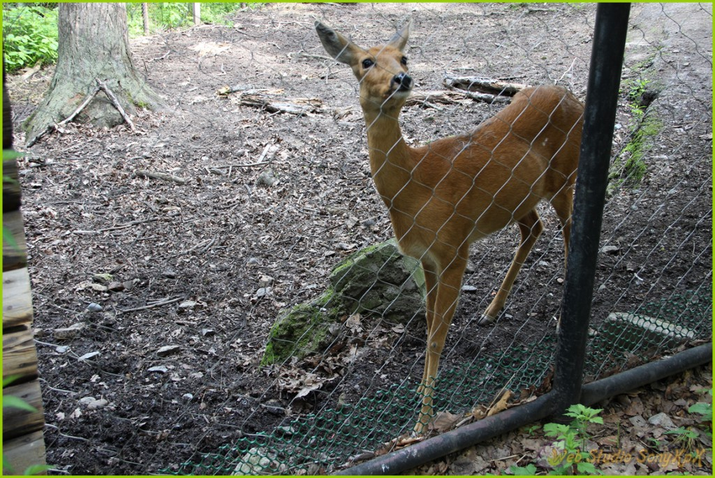 изюбр, олень, панты, охота на изюбра