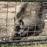 дикий кабан, дикая свинья, вепрь, мясо дикого кабана, охота на дикого кабана, зоосад