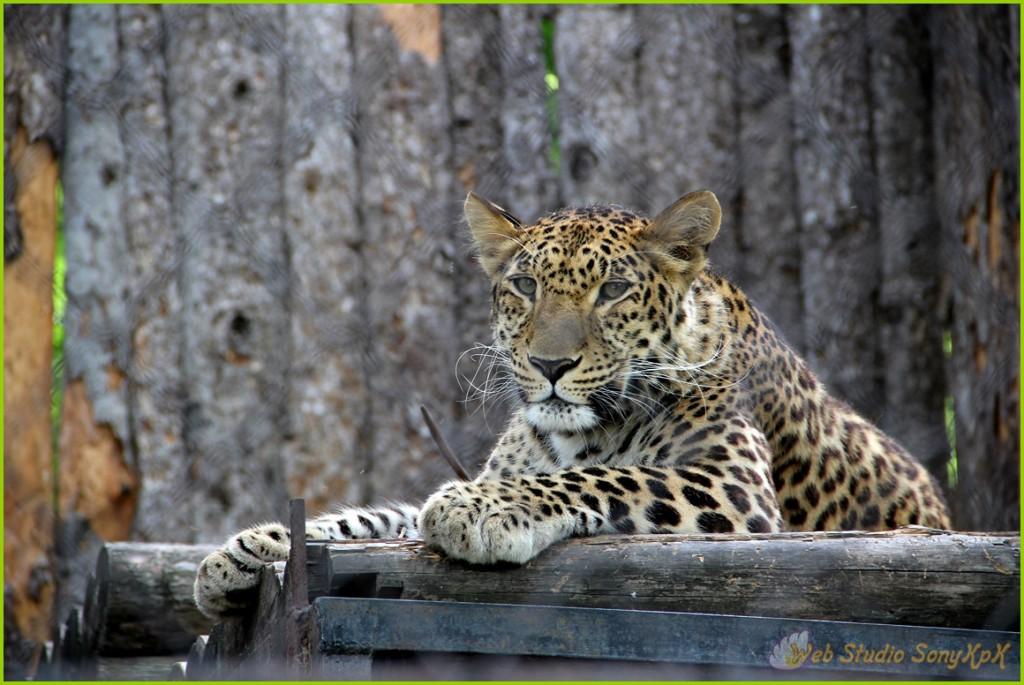 дальневосточный леопард, dalnevostochnyj leopard, барс, леопард, пантера, котэ