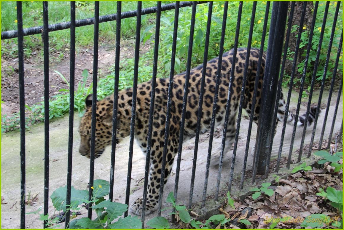 дальневосточный леопард, амурский барс, леопард, dalnevostochnyj-amurskij-leopard