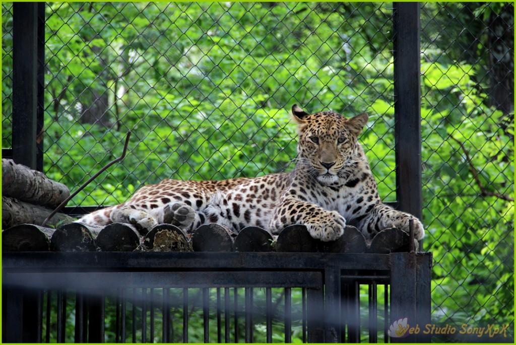 dalnevostochnyj-leopard-foto, леопард, леопард фото, дальневосточный леопард, зоосад, хабаровск