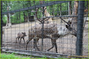 Люди очень давно одомашнили северных оленей. Северных оленей используют как ездовых животных. Мясо и молоко используют в пищу.