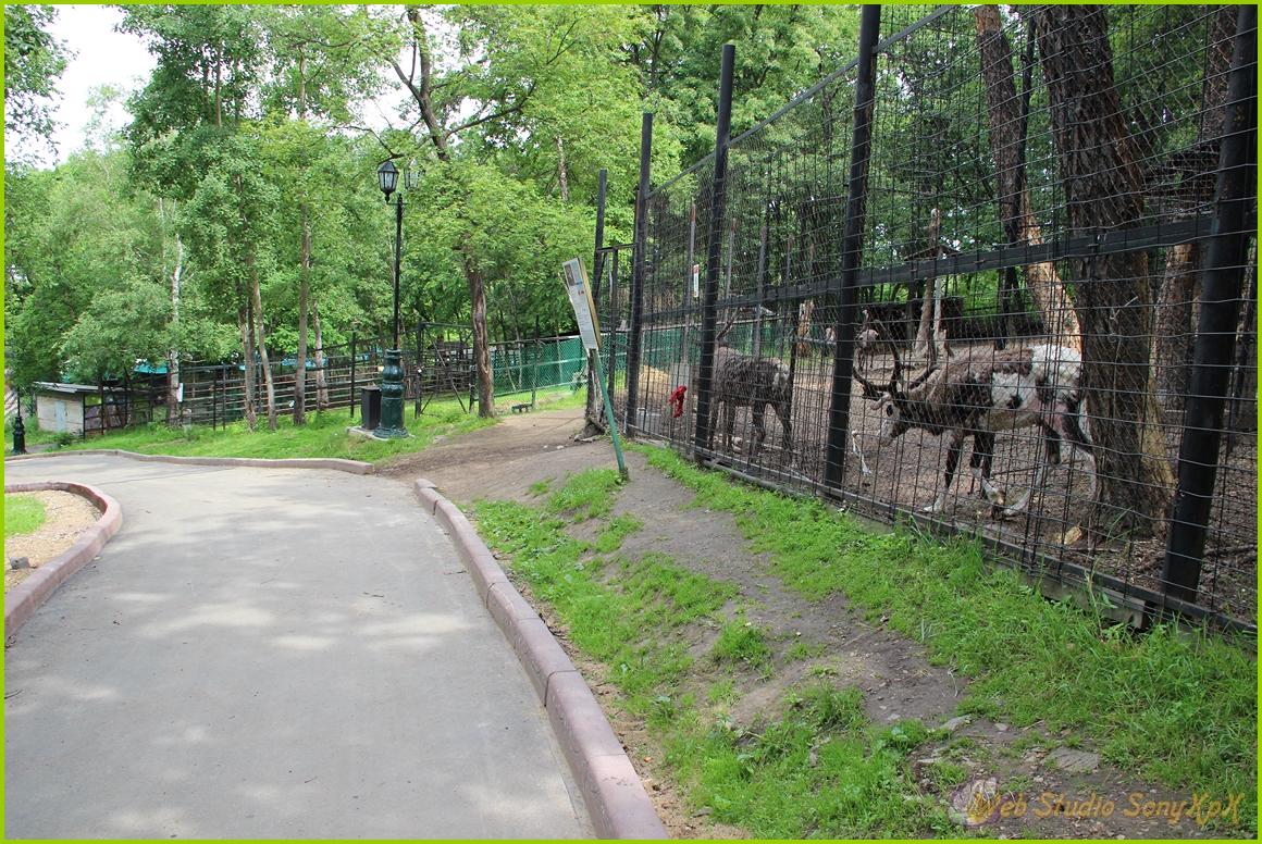 северный олень, северный олень сканворд, самка северного оленя, рога северного оленя, олень северной америки, северный олень 6 букв, самка северного оленя сканворд, панты северного оленя