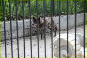 волк животное, про волков животные, в мире животных волки, тотемное животное волк, дикие животные волки, волк животные видео, волк фото животное, фильм про животных волки, картинки животных волков, животные волки, смотреть про животных волков, zhivotnye-hishhniki-volki, волк какое животное, животные хищники волки, игры животные волки