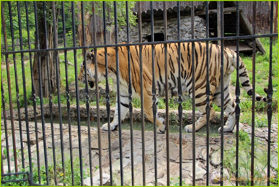 где обитает амурский тигр, томат амурский тигр отзывы, амурские тигры атланта, сколько осталось амурских тигров, виды амурских тигров, амурский тигр в россии, амурский тигр мир, амурский тигр +на английском языке, где живет амурский тигр, проект амурский тигр