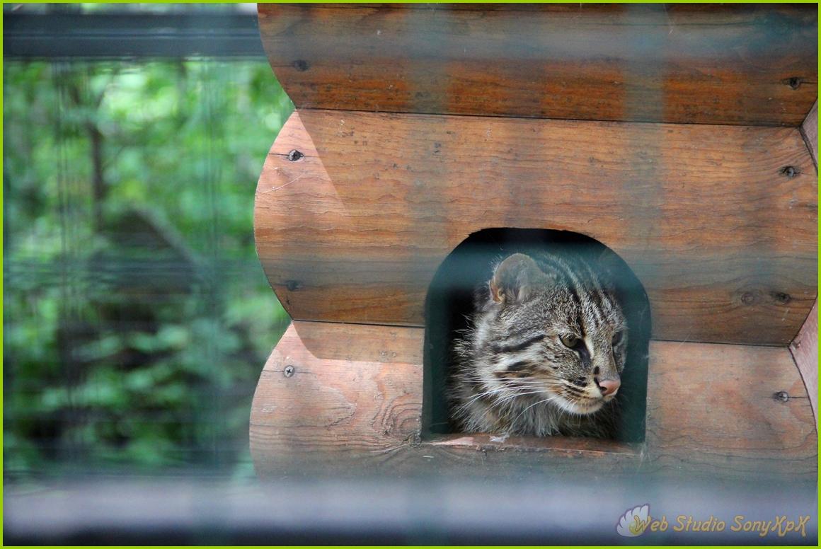 амурский кот, амурский лесной кот, котэ, кот