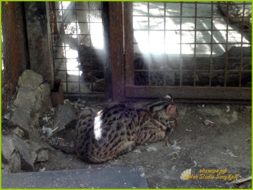 амурский кот, амурский лесной кот, амурские коты фото, дальневосточный амурский кот, амурский леопардовый кот, амурский кот купить, амурский лесной кот монета, амурский лесной кот фото