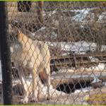 породы волков, волки фото, животные, зоосад, смотреть волков