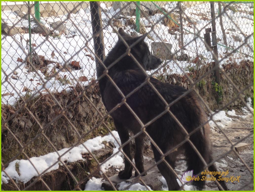 волк животное, про волков животные, в мире животных волки, тотемное животное волк, дикие животные волки, волк животные видео, волк фото животное, фильм про животных волки, картинки животных волков, животные волки, смотреть про животных волков,