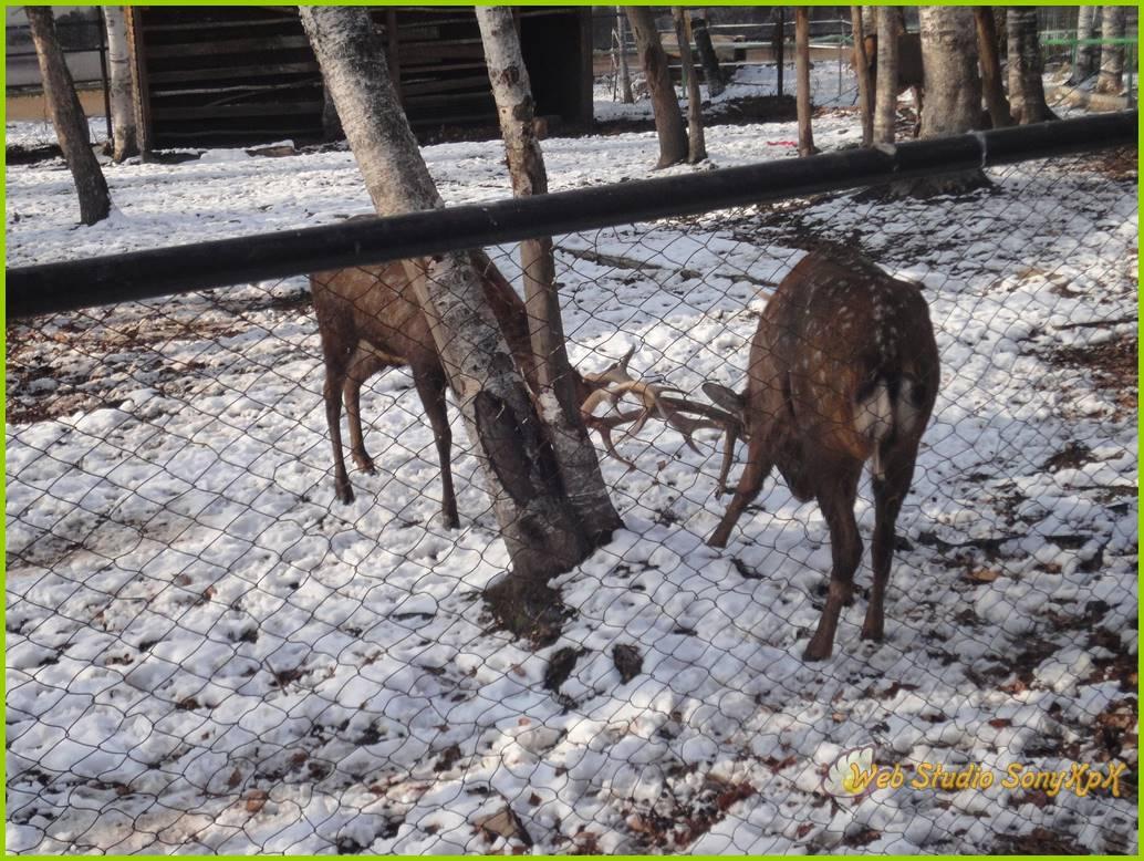 пятнистый олень, пятнистый олень сканворд, пятнистый олень фото, пятнистый олень 5 букв, купить пятнистого оленя, благородный олень, названия оленей, олень фото, благородный олень, день оленя, панты оленя,