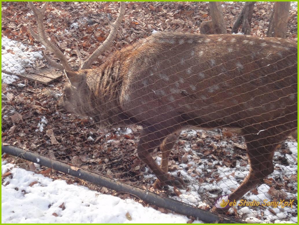 Всех оленей можно кормить свежей капустой, морковкой, которые можно купить или на кассе у работников Зоосада, или принести с собой. Только не давайте их в пакете, чтобы животные не съели этот пакет и не пострадали.
