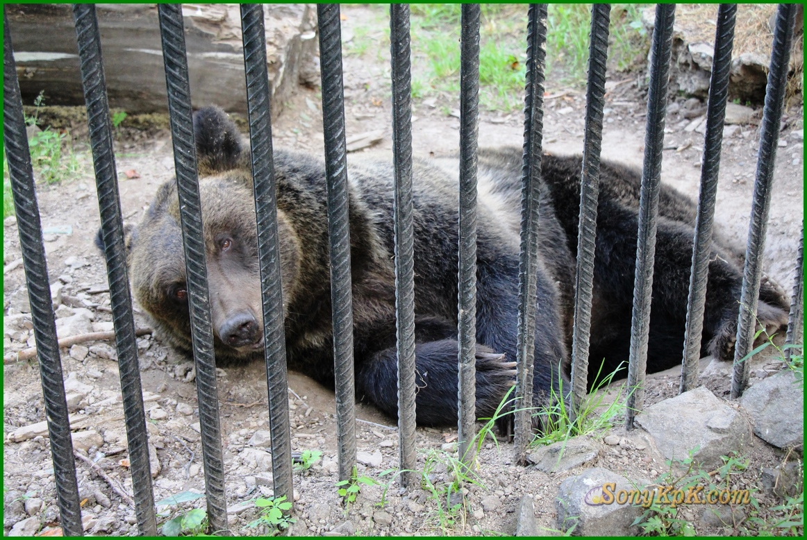 бурый медведь, бурый медведь магазин, бурый медведь фото, бурый медведь компоненты, бурый медведь электронные, большой бурый медведь, бурый медведь области, бурый +и белый медведь, бурый медведь википедия, бурый медведь видео, тайга бурый медведь