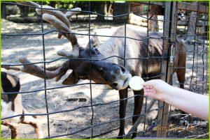 """Вольеры с северными оленями находятся выше вольеров всех остальных животных на сопочке, на которой и находится Зоосад """"Приамурский""""."""