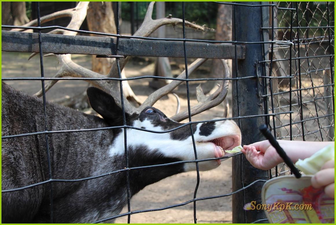 северный олень, северный олень сканворд, самка северного оленя, рога северного оленя, олень северной америки,