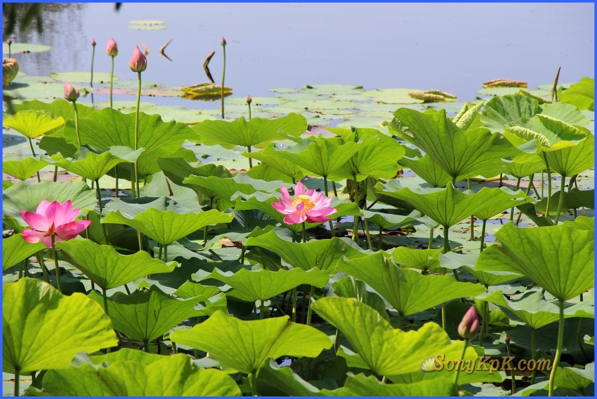 лотосовое озеро, озеро лотосов в волгоградской, озеро лотосов в волгоградской области