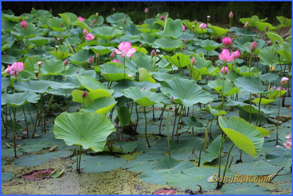 озеро лотосов галкино, озеро лотосов владивосток, озеро лотосов тбилисская
