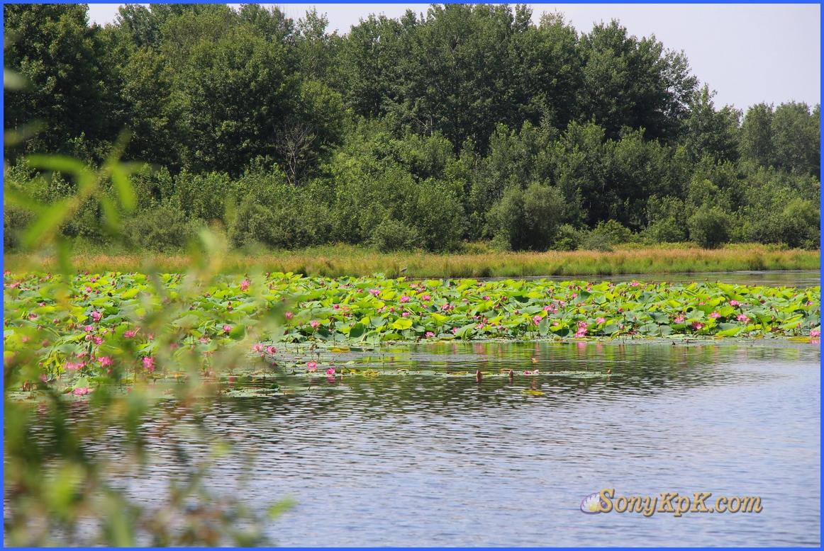 озеро лотосов, озеро лотосов краснодарский, озеро лотосов краснодарский край, озеро лотосов хабаровск