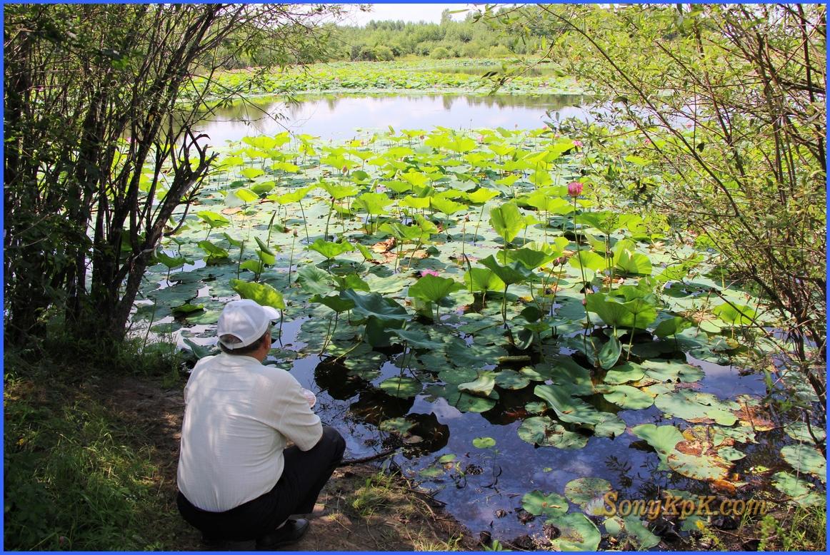 Но, даже если и замерзнет ил, что иногда случается, то семена лотосов через несколько лет отойдут и снова озеро покроется изумительным ковром этих прекрасных цветов.