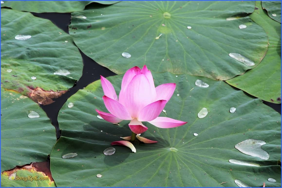 озеро лотосов хабаровск, когда цветут лотосы в хабаровске, цветение лотосов хабаровск, озеро лотосов хабаровск как доехать, база хуторок хабаровск, база отдыха хуторок хабаровск