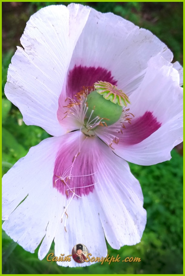 большие цветы маки