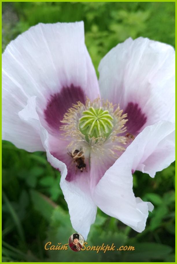 мак цветок крупный