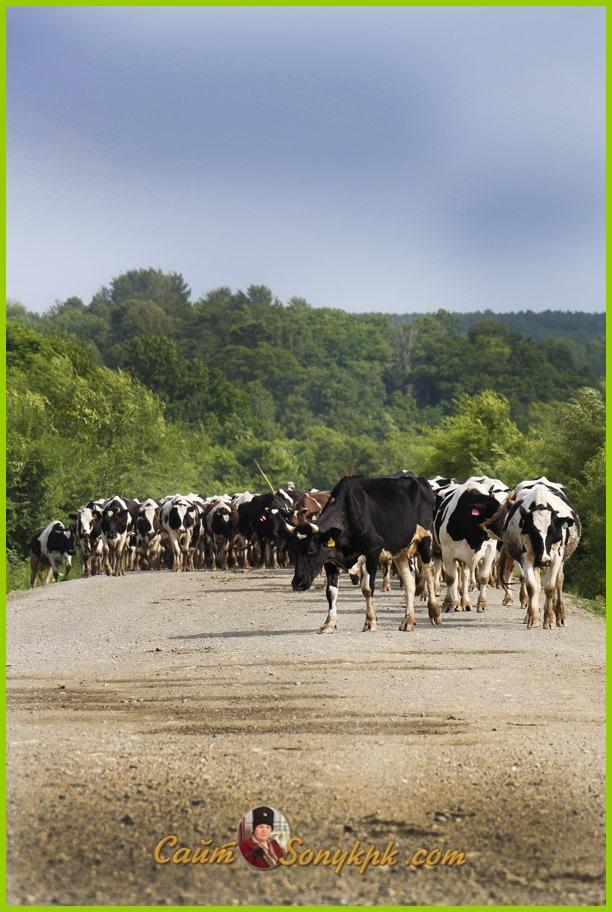 пятнистая корова фото